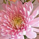 Chrysanthemum by Jay Reed