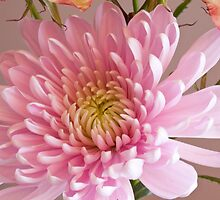 Chrysanthemum by Jay Reed