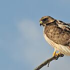 Resting In The Wind - RedTail Hawk by Lynda  McDonald