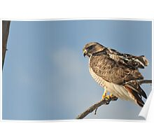 Resting In The Wind - RedTail Hawk Poster