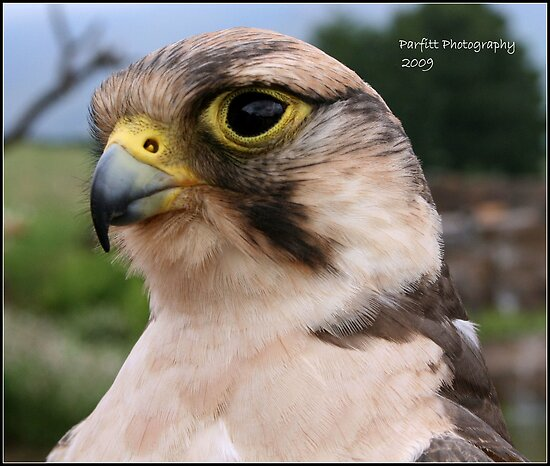 Falcon by Greg Parfitt