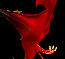 Red Amaryllis - 4 by Ann Garrett