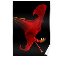 Red Amaryllis - 4 Poster