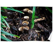 Birds Nest or Canon Ball Fungus Poster