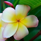 Frangipani by Penny Smith