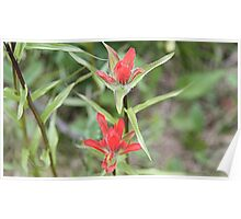 Indian Paintbrush ((Castilleja sp.) Poster