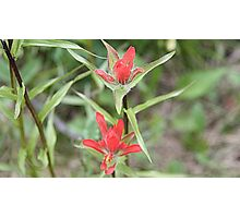 Indian Paintbrush ((Castilleja sp.) Photographic Print