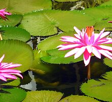 Water Lily Garden by Laurel Talabere