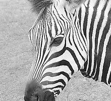 Zebra iPhone Case by Dyle Warren
