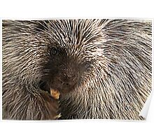 North American (Common) Porcupine Poster