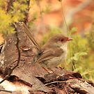 Female Fairy Wren by OzzieDreama
