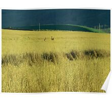 Deer in the fields of Taylor, British Columbia Poster