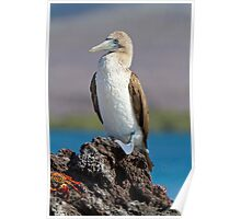 Blue-footed booby, Isabela Island, Galapagos Poster