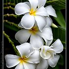 Frangipani I by Heavyweight67
