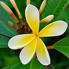 Yellow Frangipani by peasticks