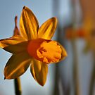 Sun setting on the petals by MichelleRees