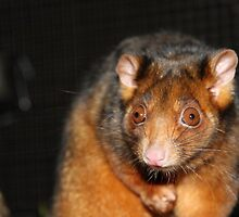 Wobble the Common ringtail possum (pseudocheirus peregrinus) by Peregrinate