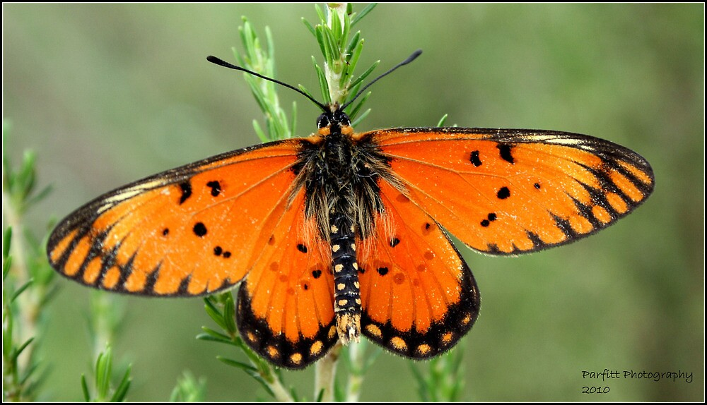 Butterfly by Greg Parfitt