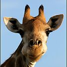 Giraffe at work! by Greg Parfitt