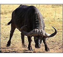 Unhappy Buffalo Photographic Print