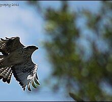Falcon in flight by Greg Parfitt