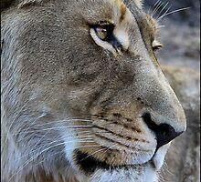 Lion glance! by Greg Parfitt