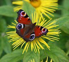 Butterfly on Sunflower by noelj55