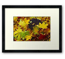 Overhead view on fallen autumn leaves of maple Framed Print
