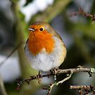 Cheeky Robin by TREVOR34