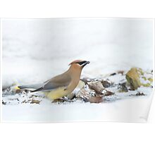 Thirsty Cedar Waxwing. Poster