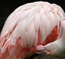 Greater Flamingo Preening #2 by Carole-Anne