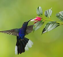 Male Violet Sabrewing - Bosque de Paz, Costa Rica by Stephen Stephen