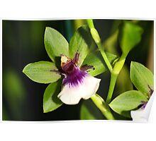 Zygopetalum Orchid Poster