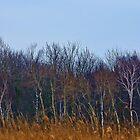 White Birch by jules572