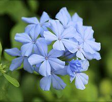 Blue Phlox by freevette