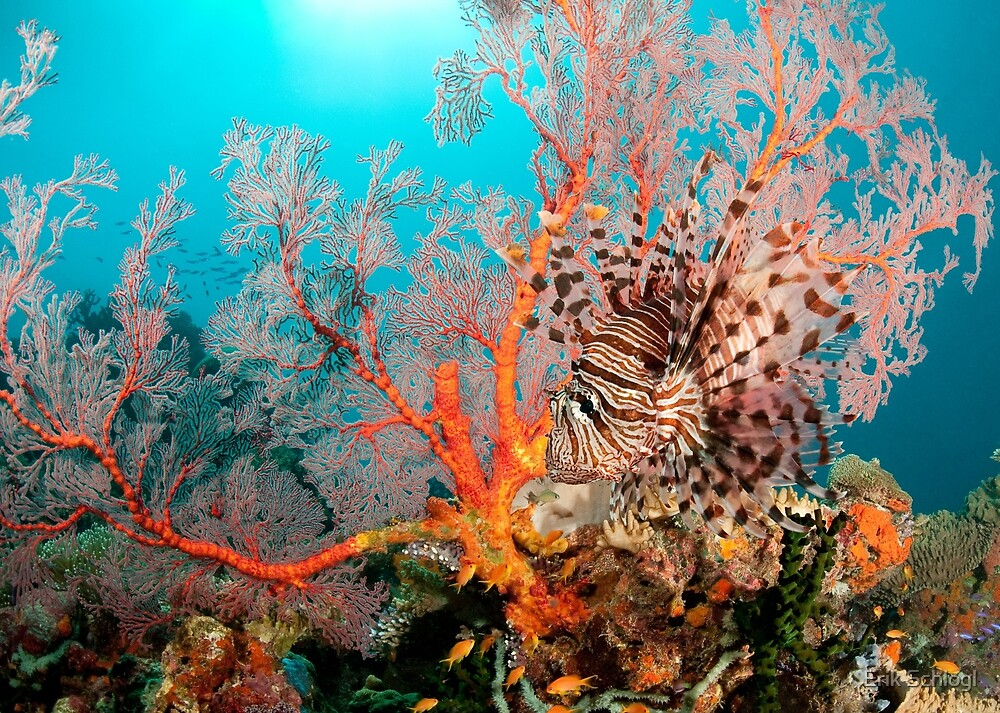 Lionfish on a coral bommie, Papua New Guinea by Erik Schlogl