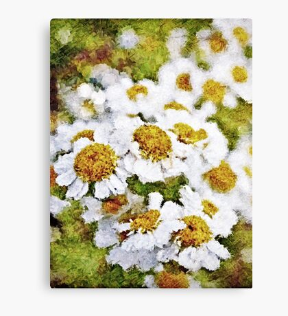 White Daisy's in the summer sun  Canvas Print
