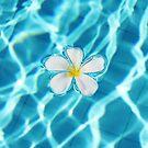 Frangipani flower in the swimming pool by Nasko .