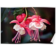 Fuchsia 2 Poster