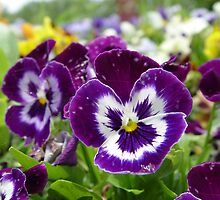 You Callin' Us Pansies? by Carolyn  Fletcher