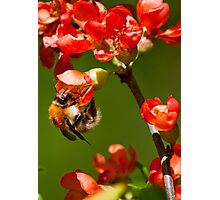 Bumblebee on red blossoms Photographic Print