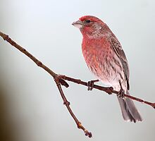 In The Pink / Male House Finch by Gary Fairhead