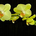 Green Orchids by Cindy Longhini