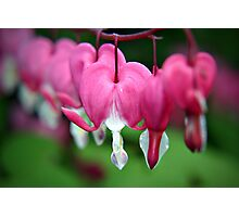 Bleeding Hearts (Dicentra) flowers Photographic Print