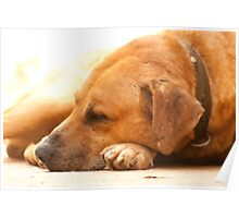 Canine Nap Poster