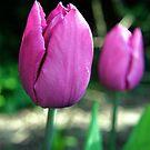 Pink Tulip Flowers by Vicki Field
