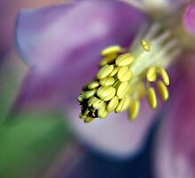 Purple Aquilegia flower by Vicki Field