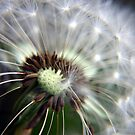 Dandelion Seeds by Vicki Field