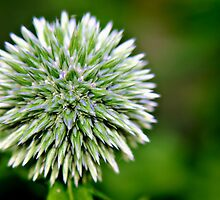 Globe Thistle (Echinops) Seed head by Vicki Field