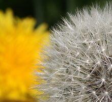 Dandelions by Innpictime